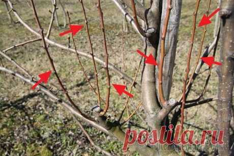 Как выполняется обрезка волчков на яблонях и грушах