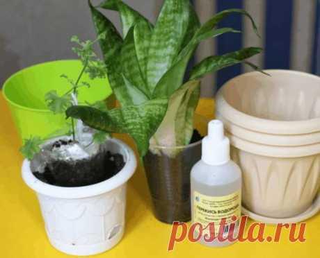Перекись водорода для комнатных цветов-бальзам в зимнее время! – В РИТМІ ЖИТТЯ