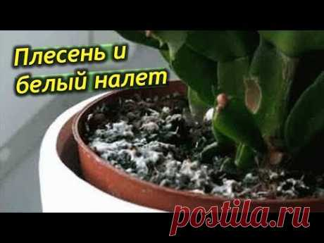 Плесень и белый налет в горшках комнатных растений. Что делать? Как избавится от налета?