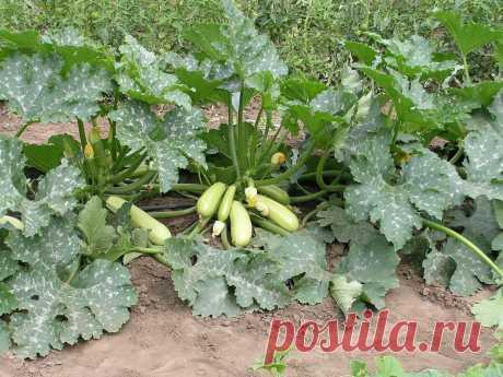 Три простых агротехнических приема для удваивания урожая кабачков   Наша Дача   Яндекс Дзен