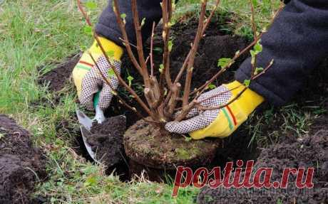Как правильно пересадить взрослый куст на другое место Рано или поздно практически каждый дачник задумывается над тем, можно ли пересадить куст на новое место и при этом не навредить растению. Поговорим о том, как пересадить большой куст и помочь растению...