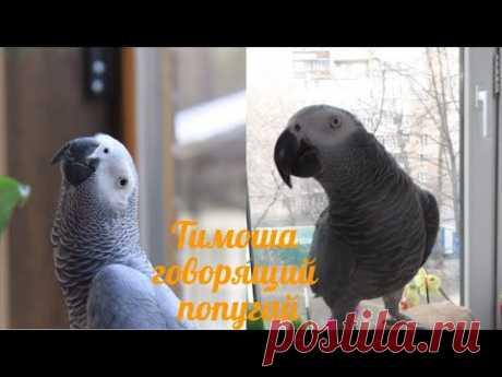 Тимоша говорящий попугай, вид Жако. Подборка видео #10