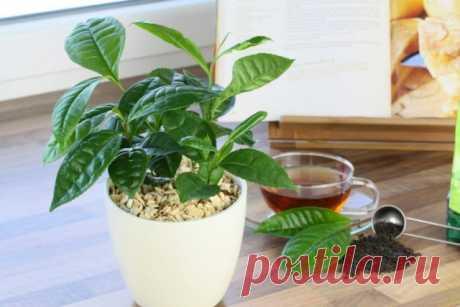 Настоящий чайный куст на подоконнике. Виды комнатного чая. Выращивание и уход в домашних условиях — Ботаничка.ru