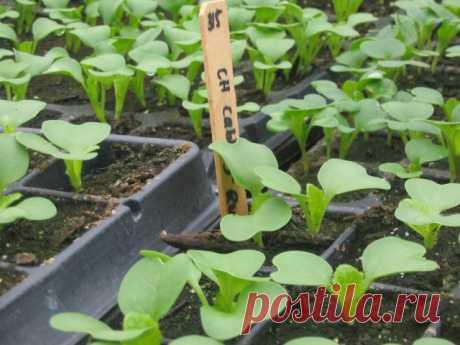 Пекинская капуста — особенности выращивания. Фото — Ботаничка.ru