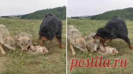 Тибетского мастифа сняли во время совершенно невероятного случая, когда он охранял пожилого волка, пытавшегося подкрепиться мясом.