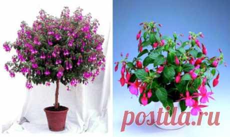 Фуксия. Уход и выращивание в домашних условиях,фото цветов