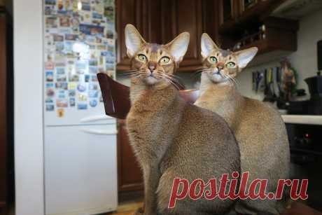 Kittens Abyssinian Cat Cats - Free photo on Pixabay