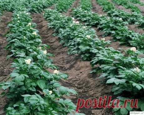 Три главных правила хорошего урожая картошки