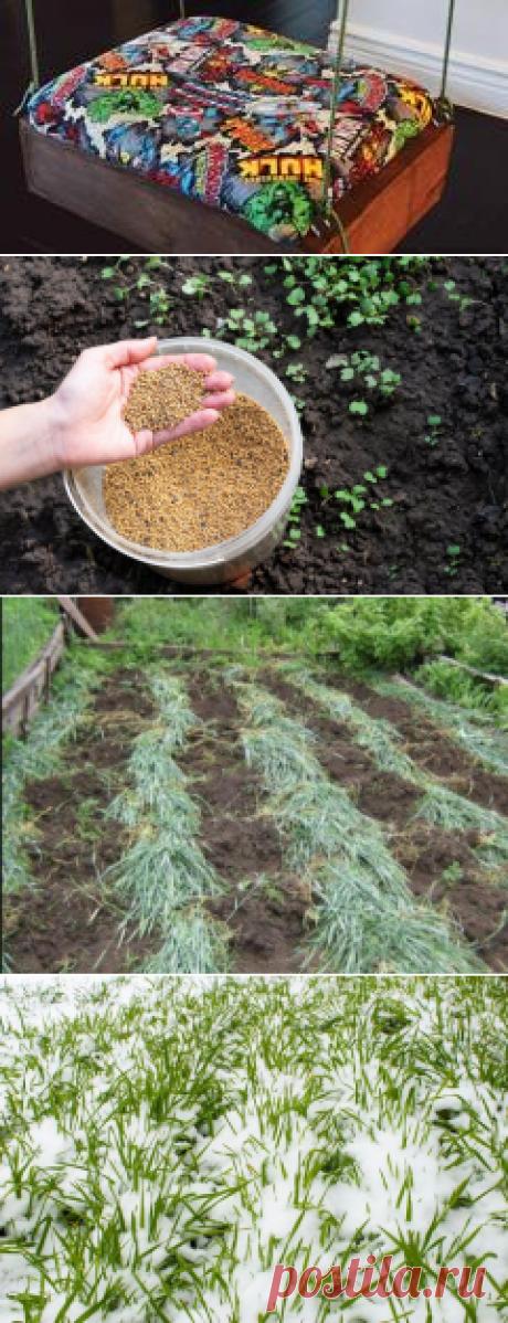 Скосить или оставить: как правильно поступить с сидератами перед тем, как почва уйдет на зимовку