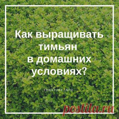 КАК ВЫРАЩИВАТЬ ТИМЬЯН В ДОМАШНИХ УСЛОВИЯХ?  #KONSPEKTYNET #Тимьян #ВыращиваниеТимьяна #УсловияДляТимьяна #ТимьянУход #Огород #Сад