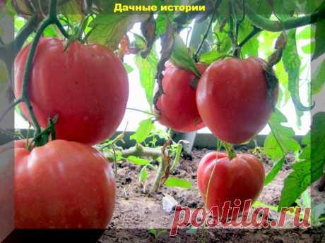 Как получить много крупных и вкусных плодов томата без трещин? Выращиваем помидоры без ошибок   Дачные истории   Яндекс Дзен