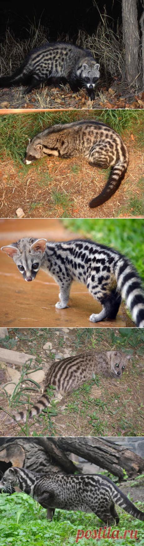 Смотреть изображения африканских цивет | Зооляндия