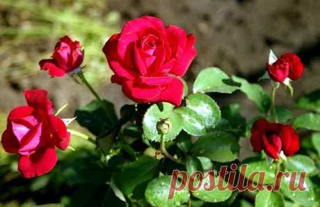 У корнесобственных роз короче срок выращивания саженцев, и меньше затрачивается труда на их производство. Однако они развиваются медленнее привитых, менее устойчивы к неблагоприятным факторам внешней среды и мало зимостойки.  Из корнесобственных роз только парковые можно высаживать в открытый грунт.Делением кустов размножают помимо шиповников корнесобственные парковые розы (морщинистая, центифольная, дамасская, французская, белая и их гибриды). Ранней весной куст выкапывают.Отводками размножают