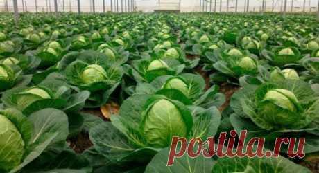 The valerian will rescue cabbage