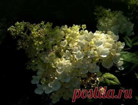 Красавица гортензия метельчатая Грандифлора