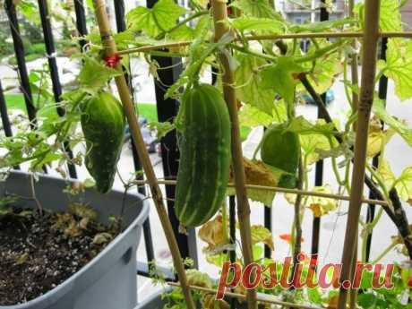 Свежие и хрустящие огурцы – овощи, которые любят многие. Они не только обладают неповторимым вкусом и ароматом, но еще и содержат большое количество витаминов. Те, у кого нет возможности сажать овощ в открытый грунт, могут попробовать выращивание огурцов на балконе...