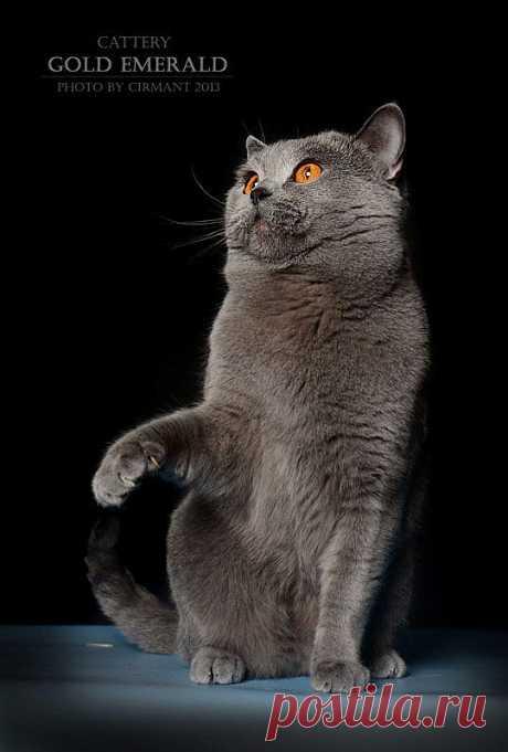 Британский Кот Ceron