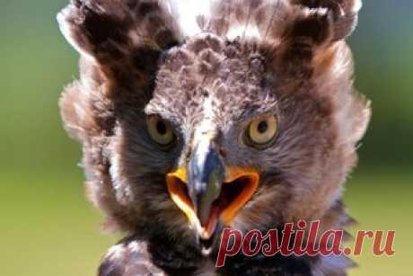 Венценосный орел — самая опасная птица Африки, которая нападает даже на человека