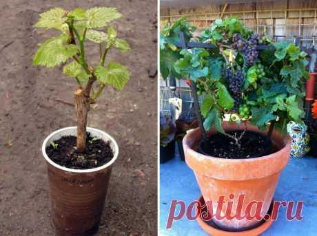 Выращивание винограда в горшке - Группа «Сделай сам»
