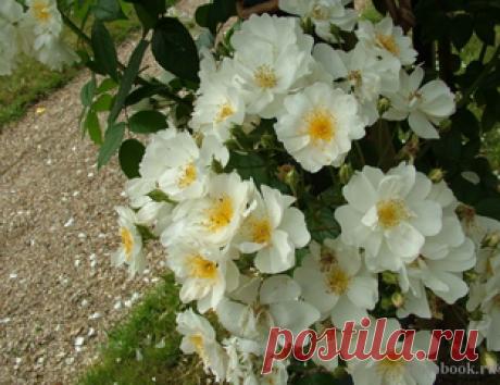 Бобби Джеймс (Bobbie James) Sunningdale Великобритания, 1961 Гибрид MultifloraЦвет: белый   Кол-во цветков на стебле: 5-10   Аромат: сильный    Размер цветка: 4-5 см