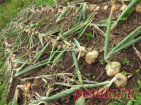 Посадила лук новым способом — в холмики. Стрелок не было, а луковицы едва помещаются на ладони