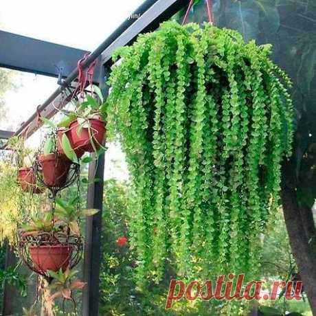 Комнатное растение Дисхидия (Dischidia). В природе дисхидии произрастают на территории Индии, Полинезии и Австралии. Дисхидии - эпифиты. С помощью придаточных корней они карабкаются вверх по другим, более мощным тропическим растениям. В комнатном цветоводстве используются несколько видов, которые обычно выращиваются как ампельные растения. Подходят дисхидии и для озеленения вертикальных плоскостей. Успешному результату при этом будут способствовать высокая влажность и тепло.