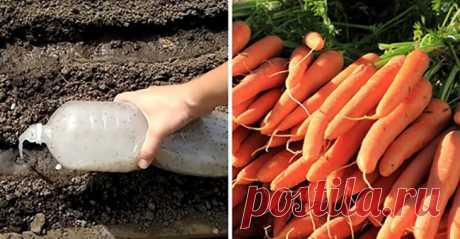 Успешная посадка моркови с помощью бутылки Минимум возни, отличный урожай
