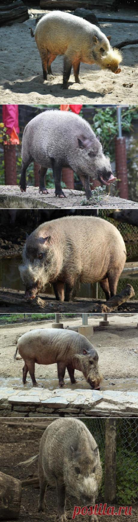 Смотреть изображения бородатых свиней | Зооляндия