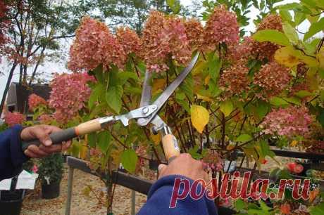 Обрезка гортензии осенью – как обеспечить пышное цветение на следующий год? Обрезка гортензии осенью – крупнолистной, метельчатой, древовидной, также правила для новичков и начинающих, сроки и время обрезки, особенности, советы и главный секрет…