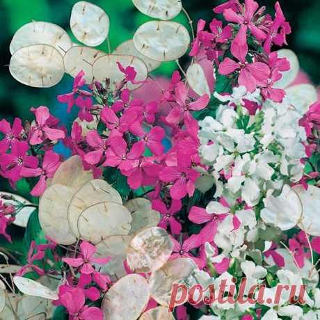 Как посадить ЛУННИК в открытый грунт  Лунник однолетний считается, по сути, двулетним растением дело в том, что в первый год роста у него происходит лишь формирование листьев, собранных в розетку. Формирование цветоносного побега у него наблюдается лишь на второй год жизни. После того как произойдет созревание семян, жизненный цикл растения подходит к концу. Показать полностью…