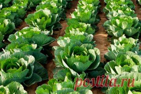 Зубная паста спасла урожай капусты! - Дачный участок - медиаплатформа МирТесен