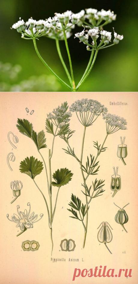 Анис обыкновенный: полезные свойства и противопоказания, как выглядит трава и семена, где и как растет, применение, выращивание, виды и сорта
