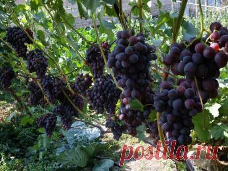 Осенняя пересадка винограда: важные советы от профи