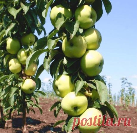 Колонновидная яблоня – компактный сад на шести сотках | 6 соток