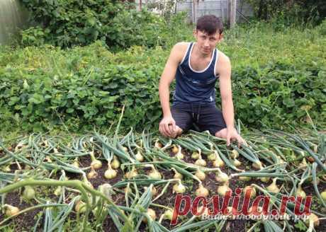 От семечка до луковицы весом в полкило — за сезон
