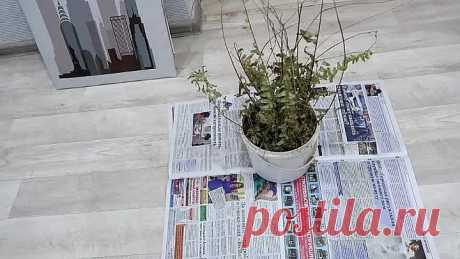 Как спасти почти засохшее растение? ВЫХОД ЕСТЬ!