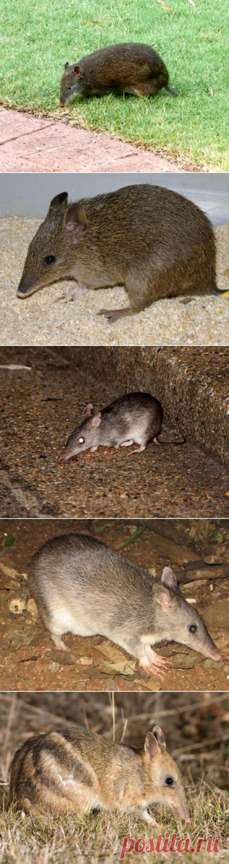 Смотреть изображения бандикутов | Зооляндия