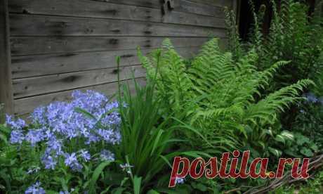 Los helechos para nuestros jardines: los tipos, la foto