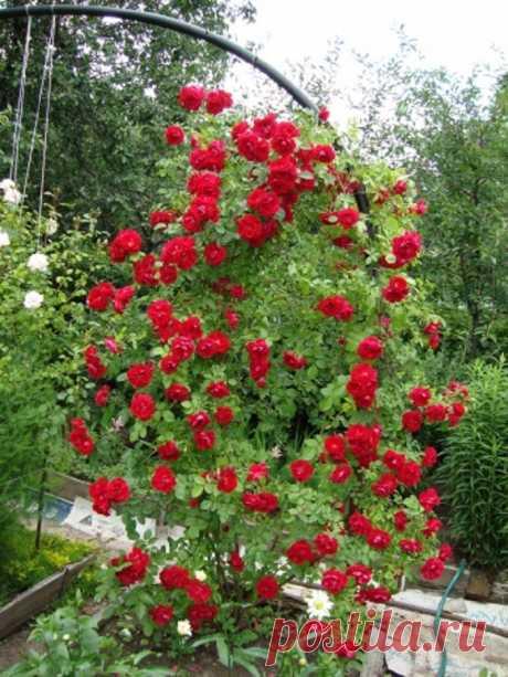 Зимостойкие сорта плетистых роз цветущие всё лето для различных регионов Зимостойкие сорта плетистых роз для различных регионов, цветущие всё лето. Виды плетущихся роз. Сорта роз для различных регионов. Крупноцветковые розы. Отзывы садоводов с форумов