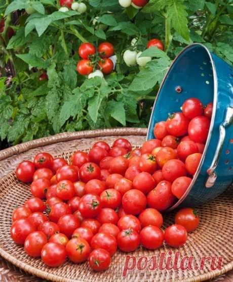 Sobrealimentar los tomates debe en 2 semanas del momento de la plantación y hasta el medio del agosto.