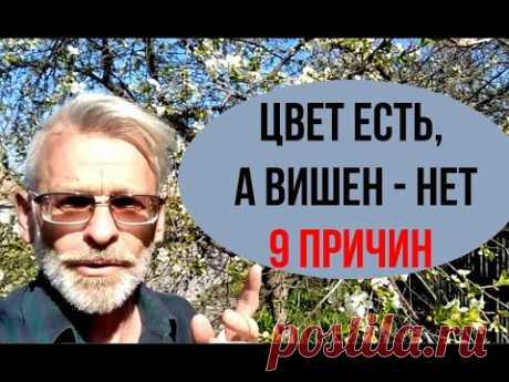ПОЧЕМУ ВИШНЯ не плодоносит / 9 причин / Игорь Билевич