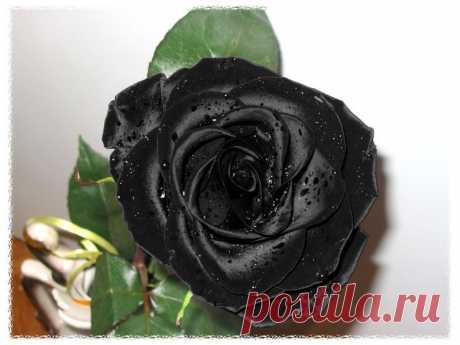 розы ::: ПРИРОДА » Цветы / макро / фото 18573412 800 x 600 io.ua