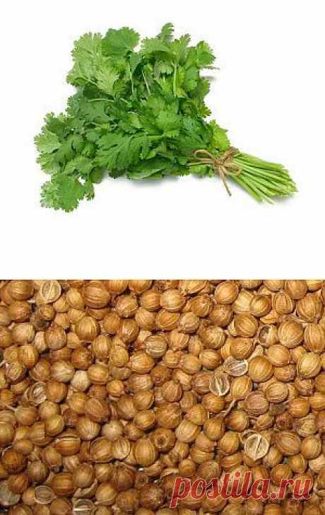 Выращивание кориандра (кинзы) | Дача - впрок