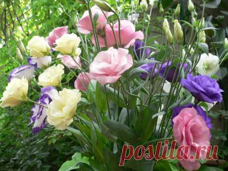 Как выращивать эустому: посадка и уход за растением в домашних условиях