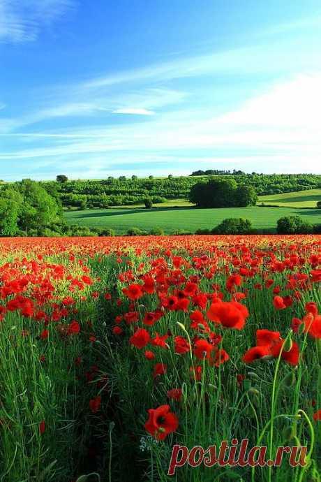 Поле маков, Глостершир, Англия