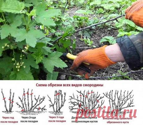 Обрезка смородины после плодоношения, зачем и как?! | Любимая Дача | Яндекс Дзен