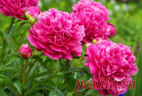 Какие цветы растут в тени.   Сад и огород   Яндекс Дзен