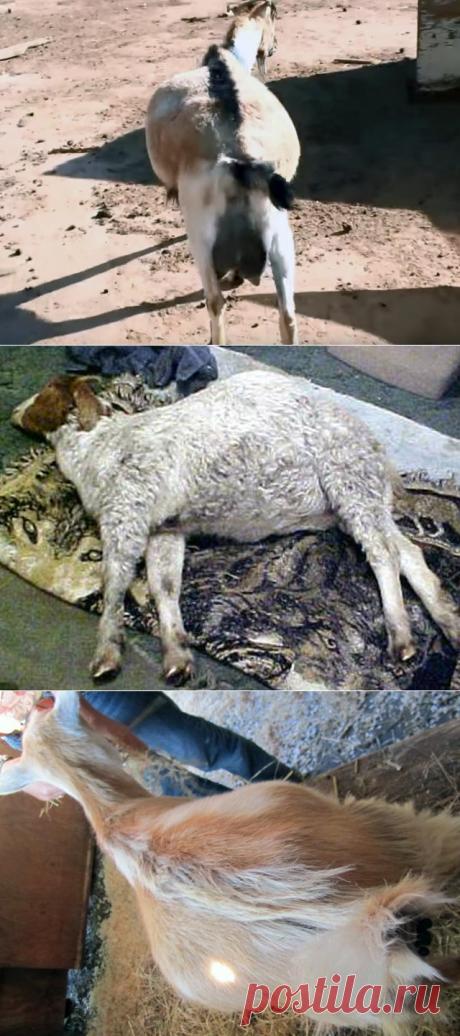 Вздутие живота у козы – лечение тимпании, экстренная помощь