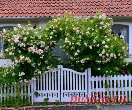 """Плетистая роза: Правильный уход. 35 садовых арок из роз Знаю, это случалось с вами – ваша плетистая роза вас разочаровывала. Вместо буйного водопада цветов у вас на даче рос вполне обычный кустик роз, который никак не тянул на звание """"королевы сада"""".  Вы п…"""