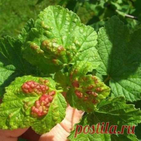 We treat red currant for a bokalchaty rust